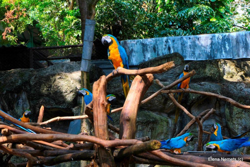Ара в зоопарке Чианг Мая