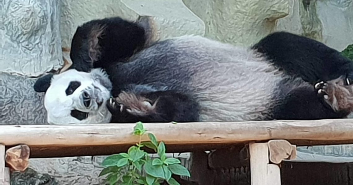 Панды зоопарк Чианг Мая